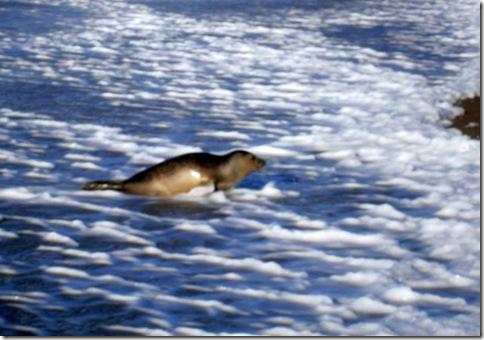 zeehond blauw