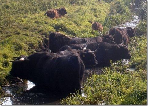 buffeltjes