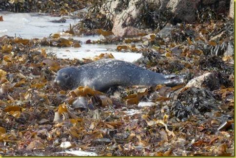 zeehondenrots2