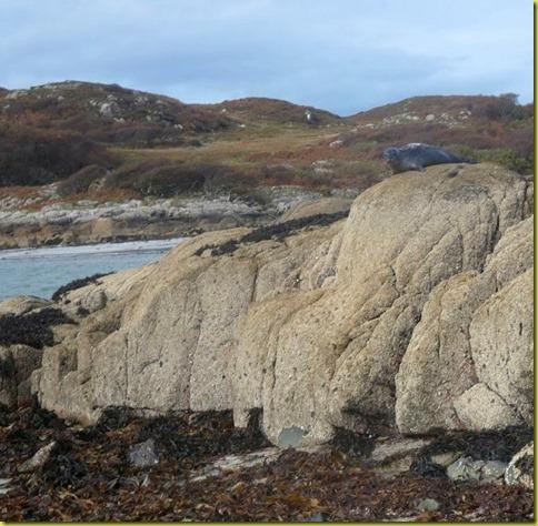zeehondenrots