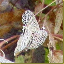 hortensiavlinder